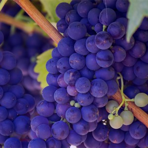 Rood sap druiven